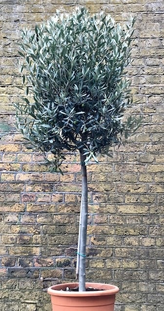 Olive tree (Large)