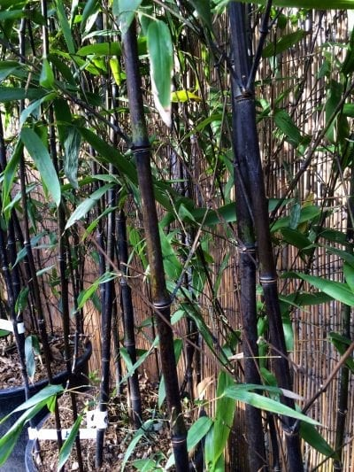 Black bamboo from Battersea Flower Station