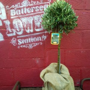 Olive tree available to buy online from Battersea Flower Station Garden Centre