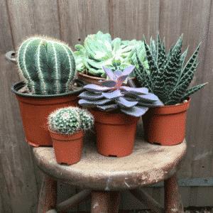 Cactus Succulent Bundle 1