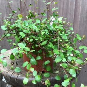 Creeping Wire Vine Indoor Plant