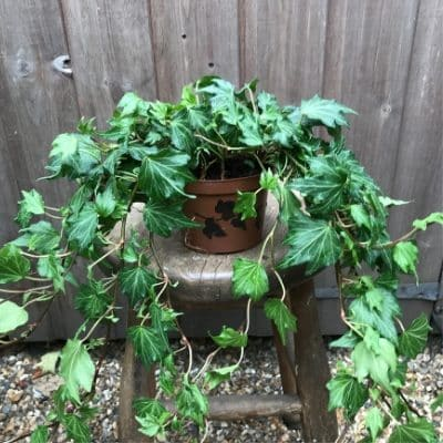 Ivy Indoor Our Outdoor Trailing Plant 2